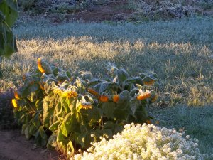 First Frost-Freeze of 2015 003
