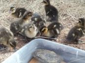 baby ducks 001