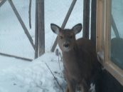 deer in the window