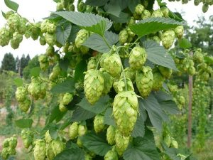 hops-cone